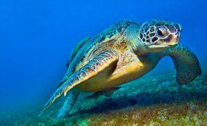 B3CFE1 seaturtle caretta turtle in the RED SEA deep blue background wildlife and Zanclus cornutus moorish idol fish egypt ABU DABAB